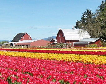 Tulip Field and Barn (Art Prints available in multiple sizes)