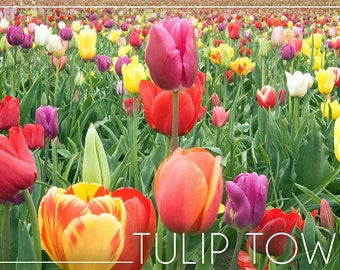 Tulip Town, Washington - Tulips (Art Prints available in multiple sizes)