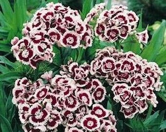 Dianthus-  Holborn- 200 seeds