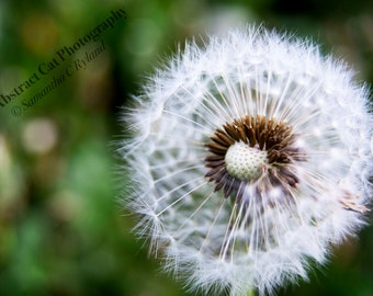Dandelion Puff Photograph, Botanical Wall Art, Flower Photo, 4x6, 5x7, 8x10, 11x14