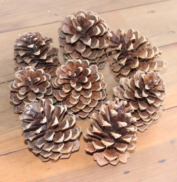Individual extra large natural arizona ponderosa pinecones for Large christmas pine cones
