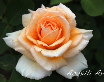 Orange Rose- Elizabeth Park- Orignal Photograph