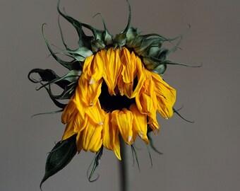 Death, original fine art photography, print, square, sunflower, flower, perish, fade, decay, still life, yellow, plant, scotland, edinburgh