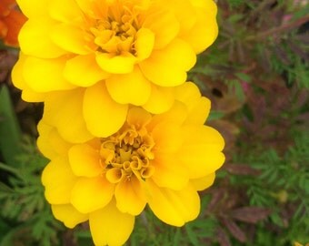 Mixed marigold flower seeds. Gardening. Flowers. Plants.