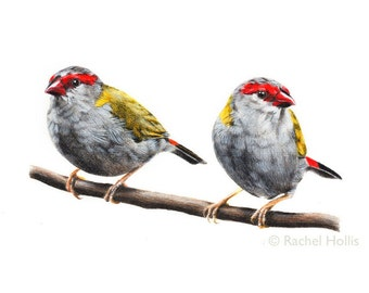 """8x10"""" Red-browed Firetail Bird Print - bird art - Finch print"""