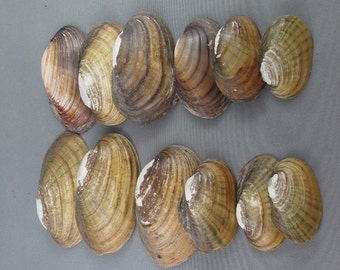 ON SALE! Sea Shells - Small Sea Shell Lot, Sea Shell Crafts, Jewelry Making Supplies, Arts and Crafts Supply, Sea Shell Collection (K122-2)