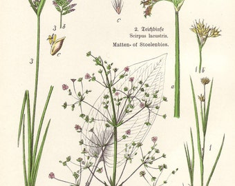 Sedges, water soldiers 1906 botanical print - Arrowhead, nut grass - 109 years old antique chromolithograph wall decor illustration (A679)