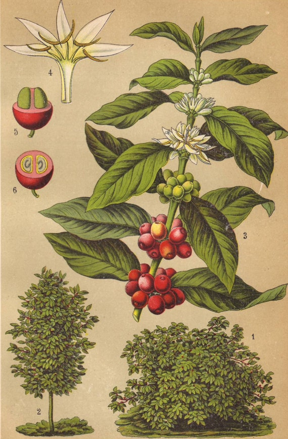 coffee plant original 1922 botanical print food natural. Black Bedroom Furniture Sets. Home Design Ideas