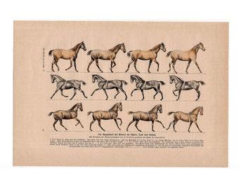 19thC HORSE GAITS of horses print original antique animal lithograph - walk trot canter