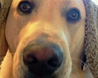 Yellow Labrador Card Imposter as Sheepdog