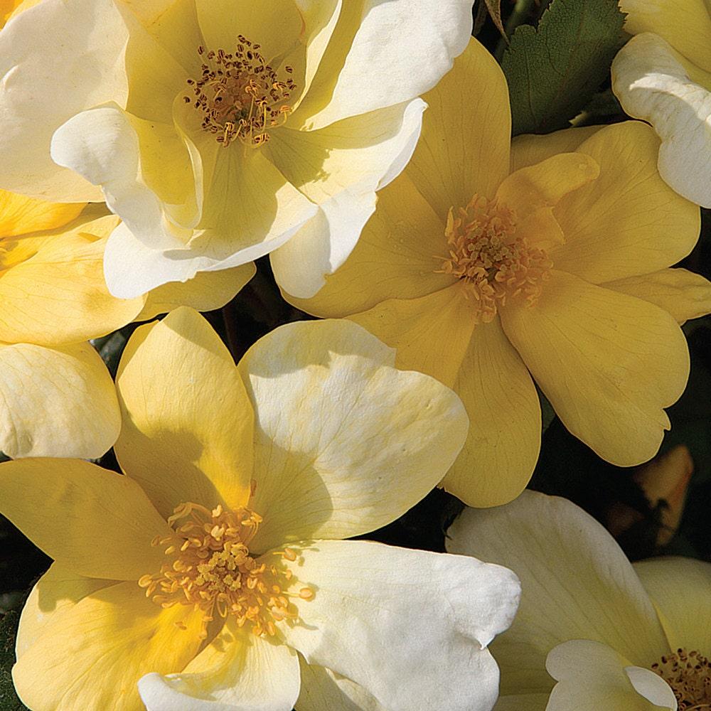 Las Rosas Tierra-Amables Son Hermosas Y De Mantenimiento Bajo - Jardinería Orgánica - NOTICIAS DE MADRE LA TIERRA