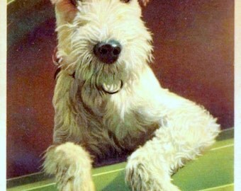 Vintage Dog Postcard: Schnauzer with a Mustache