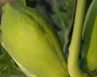 Papaya Seeds.....Maradol Red... Non GMO  ( 50 Seeds )