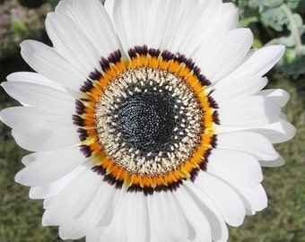 Rare Zulu Prince Daisy - 50 seeds - UK SELLER