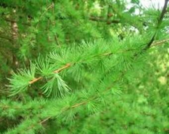 Larch etsy european larch tree seeds larix decidua flower essence plant bonsai specimen tree sciox Image collections