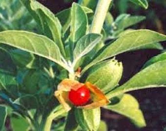 Ashwagandha Seeds, Organically Grown, Withania somnifera, Medicinal Herb, Ayurvedic Medicinal, Indian Ginseng, Perennial Plant