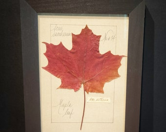 Vintage Pressed Maple Leaf Botanical Framed Under Glass