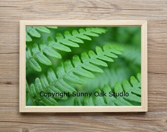 Photograph of a fern in Nisene Marks State Park in Aptos California, woods photo, fern leaves photo, nature photo