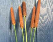 Bushel of 5 Dried Cattails