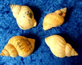 SEA SHELLS. 4 Large Dog Whelk Shells.