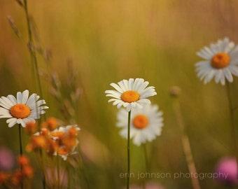 flower photography, white home decor, daisy photograph, nature art, landscape print, spring decor, daisy art