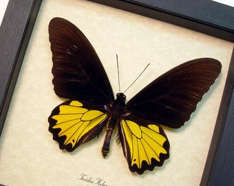 Real Framed Troides Helena Male Birdwing Butterfly Shadowbox Display 8219