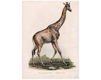 1860 antique GIRAFFE print rare and gorgeous original antique african animal safari lithograph
