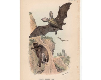1895 BAT PRINT original antique colour lithograph of long eared bats