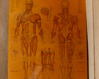 SALE- Medical Chart, The Muscular System, Wall Hanging, Doctor's Office, The Muscular System, Human Body, Anatomical Chart, Anatomical Chart