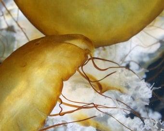 Gold and White Jellyfish Fine Art Photo
