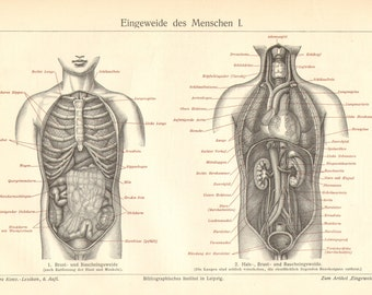 1904 Thoracic and Abdominal Organs, Intestines, Bowels of the Human Body Antique Engraving Print