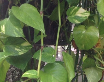 Live Unrooted Pothos Plant, Philodendron, Devil's Ivy House Plant Cuttings, Clean Air Plant, Water Garden