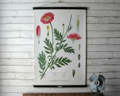 Vintage Floral Chrysanthemum Pull Down Botanical Chart Reproduction with Canvas Print and Oak Wood and Brass Hanger / Chrysanthemum