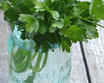 Parsley Seeds, Heirloom Herb Seed, Italian Flat Leaf Parsley, Great for Herb Gardens and Butterfly Gardens