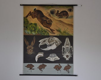Vintage Pull Down School Chart. Rabbit. Hare. Bunny. Jung Koch Quentell. Germany. Classroom Wall Chart. 0995