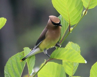 Stunning Photo of a Cedar Waxwing on a Branch