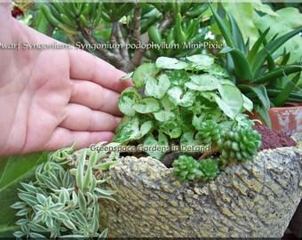 Rare Plant, Dwarf Plant, Miniature Live Plant, Terrarium or Miniature garden Plant, Syngonium podophyllum 'Mini Pixie', a perfect houseplant