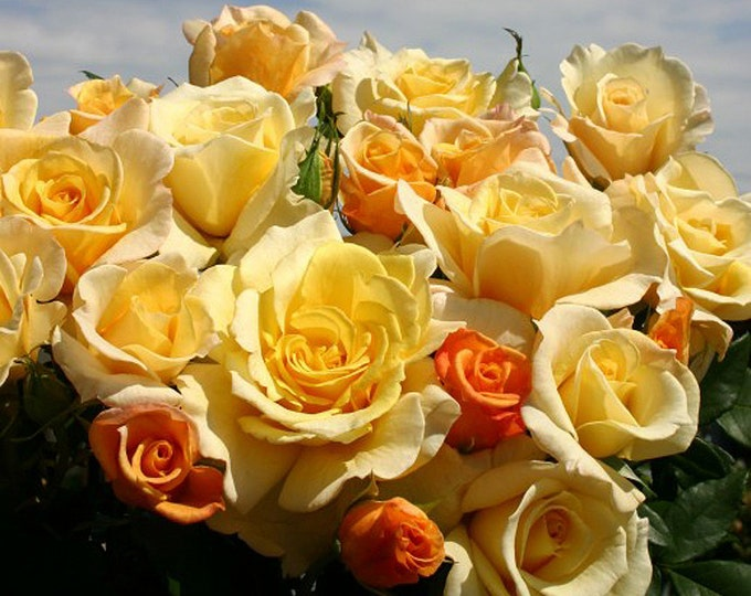 Sunny Sky Rose Bush Reblooming Fragrant Yellow Hybrid Tea Rose Plant Organic Grown Potted Eleganza Rose - Own Root Non-GMO Spring Shipping