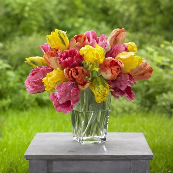 Tulip Parrot, Soft Spring Mix (Bulbs),12/+cm, Big Blooms Excellent for Bouquets Flowers in Late Spring, Now Shipping !