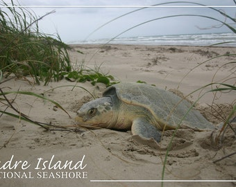 Padre Island National Seashore - Kemp's Ridley Sea Turtle Hatching (Art Prints available in multiple sizes)