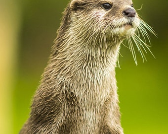 River Otter Standing (Art Prints available in multiple sizes)