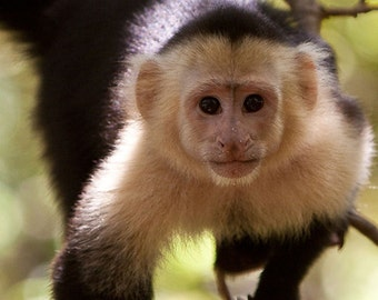Capuchin Monkey (Art Prints available in multiple sizes)
