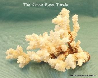 Beautiful Brown Stem Coral
