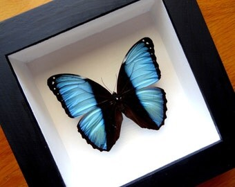 Real Morpho Achilles Male Framed - Taxidermy - Home Decoration - Collectibles