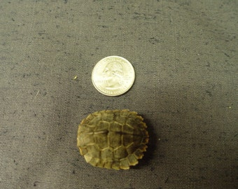 Red Eared Slider Turtle Shells 1 - 2 inch Hard to Find Size Collectible #TU12