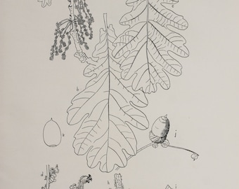 Oak Tree Species - Large Antique Botanical Print in Monochrome or Black and White