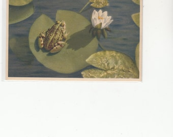 Lovely Setting With Frog Sitting  On Lily Pad,Variations On Greens Unuused Postcard