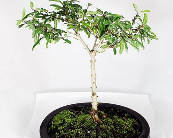 Dwarf Pomegranate bonsai in black caly pot. It is a beautiful and rewarding bonsai that is easy to care for.