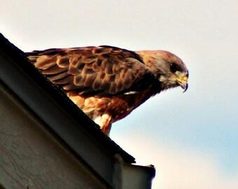 Has a eye like a Redtail hawk!
