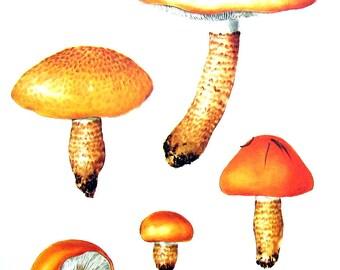 Mushroom Print - Species Tricholoma - Kitchen Decor - Food Decor - 1972 Vintage Book Print - 11 x 8